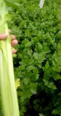 河南省商丘市夏邑县西芹 45~50cm 大棚种植 1.5~2.0斤