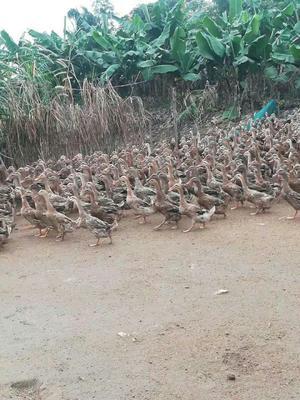 广东省江门市新会区蛋鸭 母 半圈养半散养 2-3斤