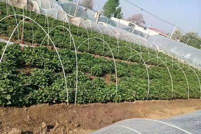 河南省许昌市禹州市商薯19红薯苗 15~25cm