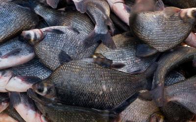 江苏省常州市天宁区池塘鳊鱼 人工养殖 1-1.5公斤
