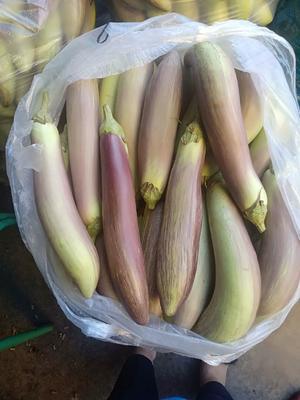 云南省西双版纳傣族自治州景洪市白茄子 20~30cm 长茄