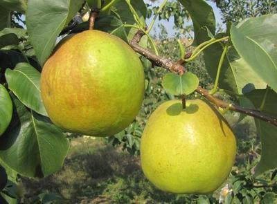 玉露香梨树苗  1~1.5米 品种纯正可签合同