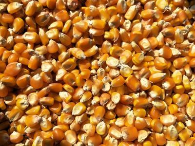 四川省凉山彝族自治州盐源县玉米干粮 霉变≤2% 杂质很少