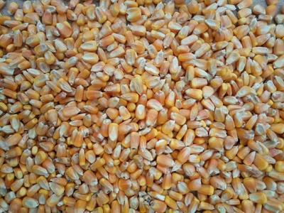 内蒙古自治区乌兰察布市察哈尔右翼中旗潞玉6号玉米 黄粒 鲜货