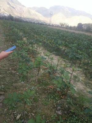 甘肃省陇南市武都区大红袍花椒苗