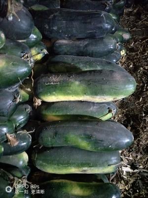 新疆维吾尔自治区塔城地区沙湾县黑皮冬瓜 10~20斤 地冬瓜