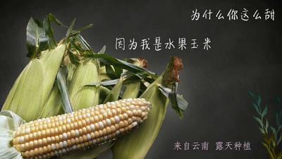 云南省昆明市官渡区水果玉米 黄粒 鲜货