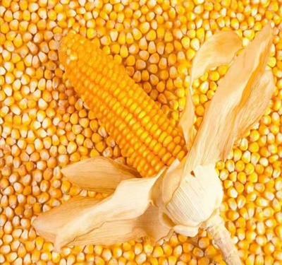 内蒙古自治区通辽市扎鲁特旗玉米湿粮 霉变≤2% 杂质很少