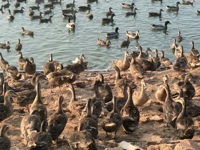 广东省佛山市三水区淘汰鸭 母 半圈养半散养 3-4斤