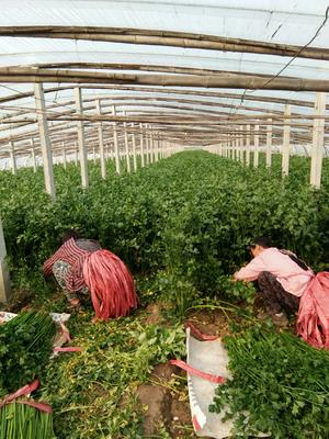 山东省济南市章丘市章丘鲍芹 70.0cm 大棚种植 0.5~1.0斤