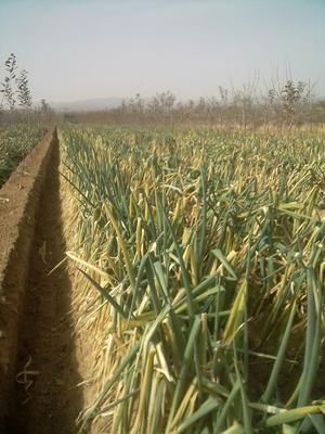 陕西省渭南市澄城县长白大葱 混装通货 净葱