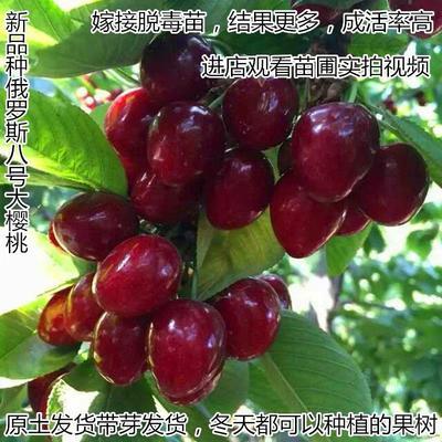 山东省临沂市平邑县俄罗斯8号樱桃苗