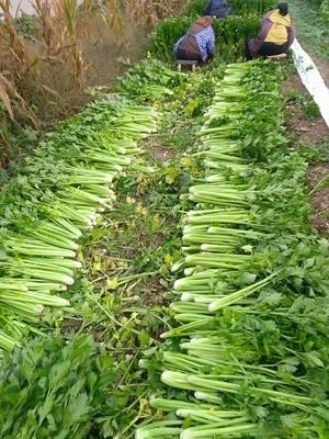 陕西省咸阳市三原县西芹 60cm以上 大棚种植 0.5~1.0斤