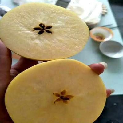 维纳斯黄金苹果苗 1~1.5米