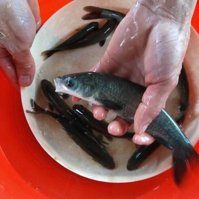 重庆铜梁区淡水青鱼 人工养殖 0.25-1公斤