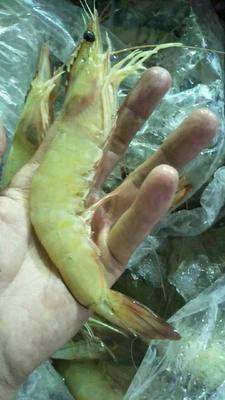 广东省深圳市宝安区中国对虾 野生 5-7钱