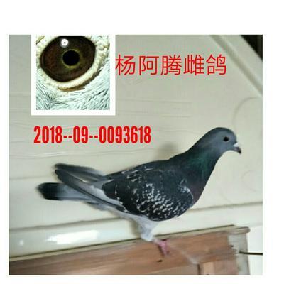 河北省石家庄市井陉矿区信鸽 400-500克