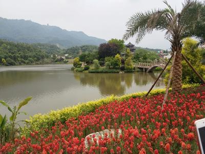 湖北省黄冈市团风县池塘鳊鱼  人工养殖 1.5-2.0斤
