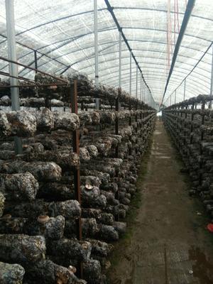 湖南省湘潭市湘乡市香菇9608 厚菇(冬菇) 冬菇 袋料香菇 鲜香菇