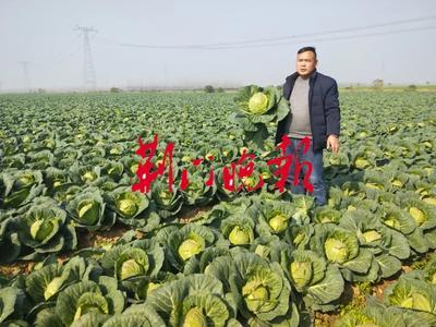 湖北省荆门市沙洋县扁球甘蓝 3.0~3.5斤