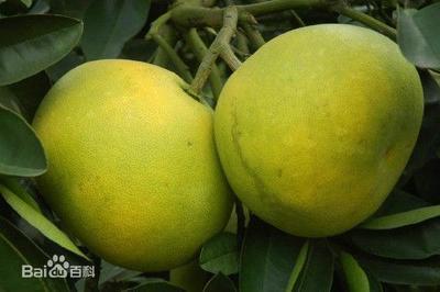 湖南省常德市澧县苹果柚 1.5斤以上