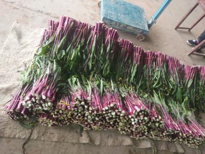 湖北省宜昌市当阳市红菜苔 40~45cm