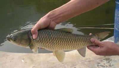 重庆铜梁区池塘草鱼 人工养殖 0.25-1公斤