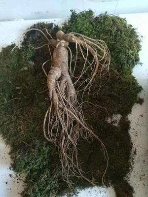 这是一张关于园参 鲜参 整根 盒装的产品图片
