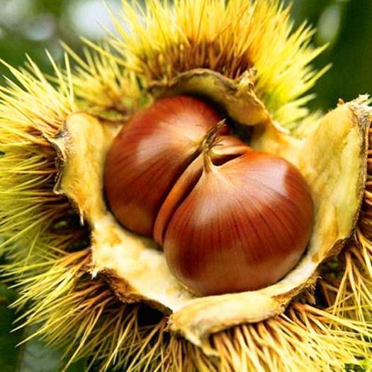 板栗苗品种齐全大红袍板栗树苗庭院盆栽南北方种植当年结