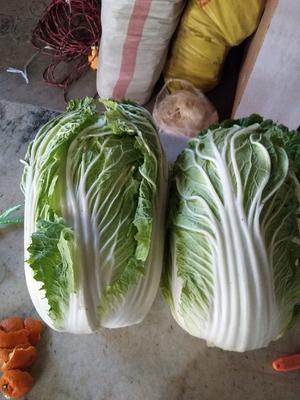 陕西省渭南市青麻叶大白菜 6~10斤 净菜