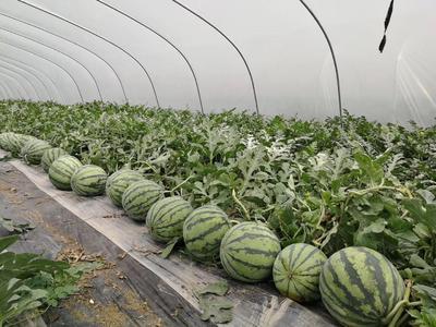 贵州省安顺市紫云苗族布依族自治县8424西瓜 有籽 1茬 8成熟 6斤打底