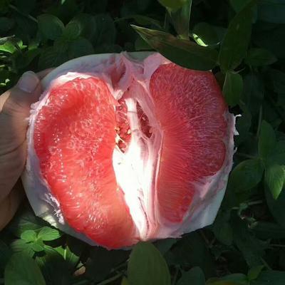 福建省漳州市平和县平和蜜柚 2斤以上