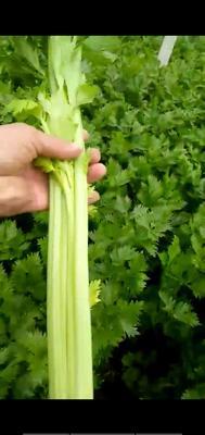 河南省商丘市夏邑县西芹 50~55cm 大棚种植 2.0~2.5斤