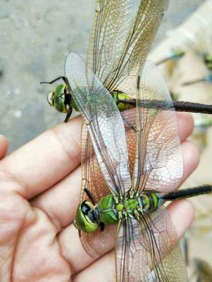 河北省保定市安国市蜻蜓