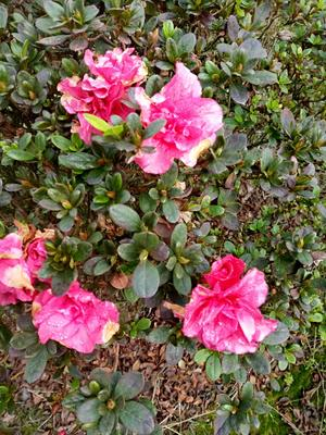 重庆巴南区紫杜鹃 0.5~1米