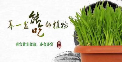 河北省邢台市桥西区黄韭 头茬 20~30cm