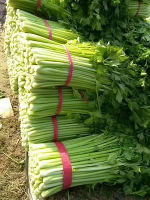 山西省忻州市忻府区美国文图拉芹菜 40~45cm 大棚种植 1.0~1.5斤