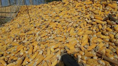 河南省信阳市息县玉米干粮 霉变≤1% 净货
