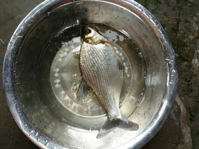 重庆铜梁区池塘鳊鱼 人工养殖 0.5公斤以下