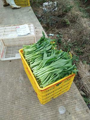 广东省清远市连州市连州菜心 25~30cm