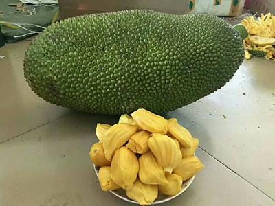广西壮族自治区防城港市东兴市海南菠萝蜜 15斤以上