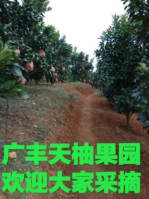 江西省上饶市广丰县红心柚 2.5斤以上