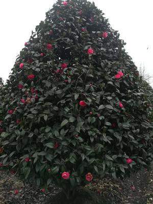 四川省成都市郫县茶花树 140cm以上