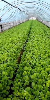 陕西省汉中市汉台区速生小白菜 15~20公分