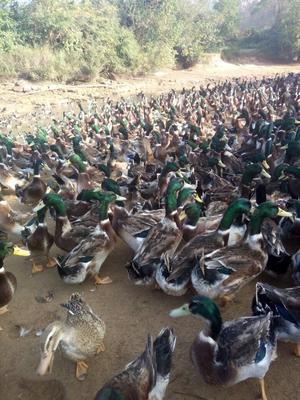 广西壮族自治区南宁市邕宁区麻鸭 公 半圈养半散养 5-6斤