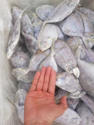 广西壮族自治区北海市海城区肉鯧鱼 野生 0.5公斤以下
