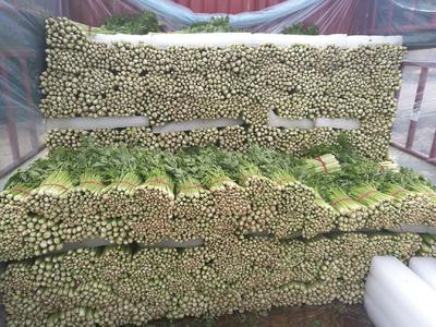 安徽省宿州市砀山县法国皇后芹菜 55~60cm 大棚种植 0.5斤以下