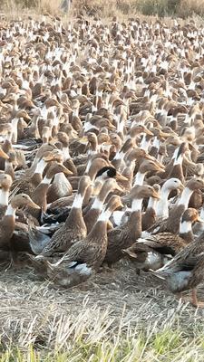 湖北省黄冈市黄梅县蛋鸭 母 全散养 2-3斤