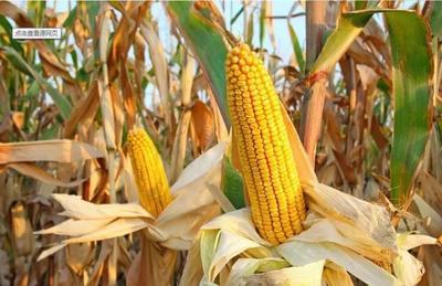 甘肃省庆阳市合水县玉米干粮 霉变≤1% 净货