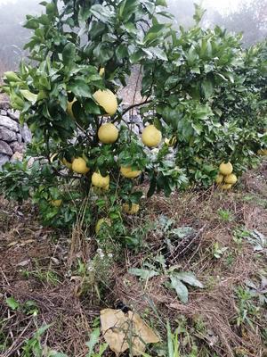 浙江省衢州市江山市马家柚 2.5斤以上